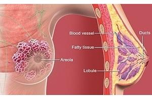 آناتومی سینه زنان و آنچه در مورد پستان باید بدانید