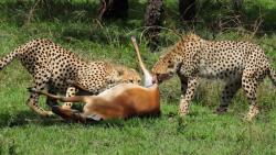 شکار حیوانات در مستند حیات وحش